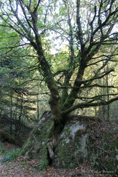the tree on the rocks - foret d'Huelgoat